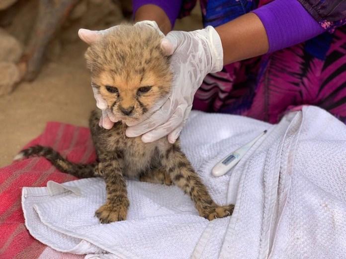 1  2020年8月22日在索馬利蘭埃里加博附近的村庄,獲救的其中一隻獵豹寶寶。圖片來源:獵豹保育基金會和索馬利蘭環境與農村發展部。