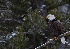 Winter Bald Eagle - 7830b+