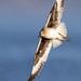 A Flying Willet With Both Wings Extended Out