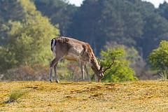 Deer | Damhert [Explore]