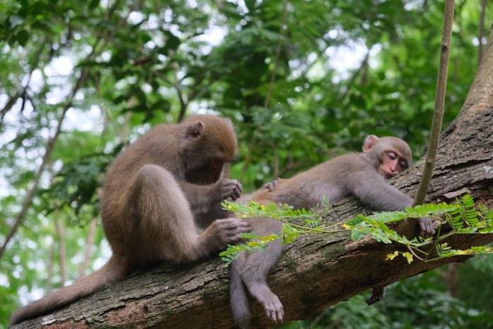 悠閒壽山獼猴日常。劉羽芯攝。