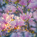 Freckled magnolia
