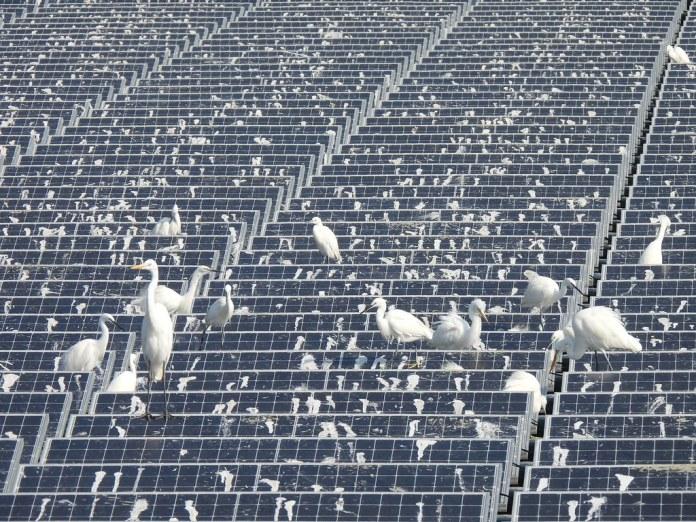20210125布袋鹽田光電與鳥報導。新塭滯洪池上的浮台型光電板鳥糞密佈。照片提供:布袋五鹽田
