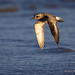 With Wings Down A Black-bellied Plover Flies Over The Water Of The San Francisco Bay