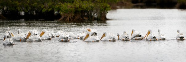 A Partial Pod of Pelicans