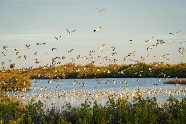 A large squabble of gulls