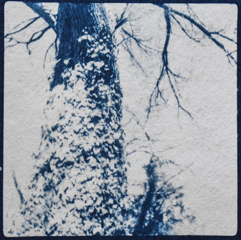 looking up, ivy-covered tree trunk, yard, Asheville, NC, cyanotype, natural fiber hot press paper, 6x6 medium format film negative