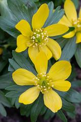 Yellow buttercup like flowers