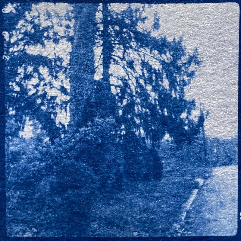 conifers, old trees, young shrubbery, Blue Ridge Avenue, Asheville, NC, cyanotype, natural fiber hot press paper, Linden Lindar box camera, November, 2016