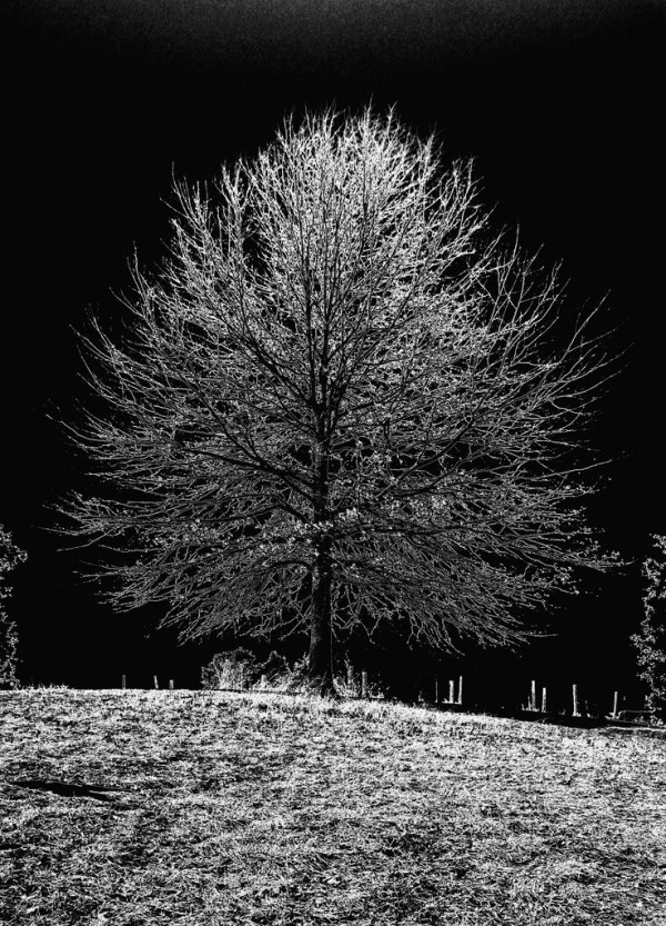 Trevor Carpenter PhotoChallenge Week 8: Pseudo Solarization - The Oak Tree