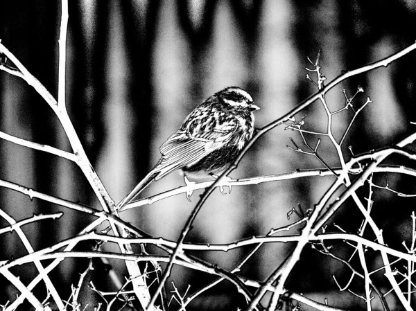 2021 Week 8 - Pseudo-Solarization, Tree Sparrow