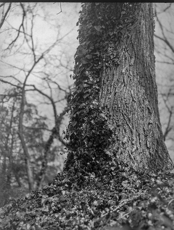 ivy-covered tree trunk, yard, Asheville, NC, Folmer Graflex Corp. R.B. Series B, Kodak Anastigmat f/4.5 6 3/8 in.,3.25 x 4.25, large format, Adox CHS 100 II, Ilford Ilfosol 3 developer, 3.5.21