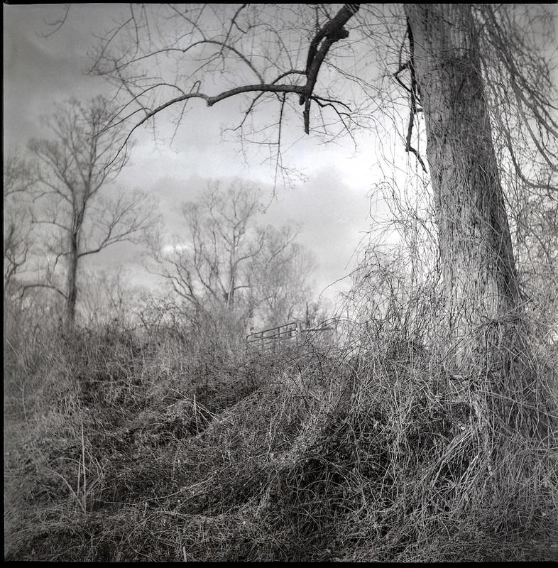 knarly tree limb, winter landscape, Biltmore Estate, Asheville, NC, rural lane, bare trees, dried vegetation, dormancy, Biltmore Estate, Asheville, NC, Yashica D, Fomapan 400, Moersch Eco developer, 2.28.21