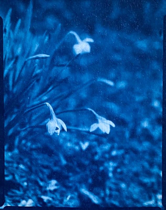 blooming daffodils II, yard, Asheville, NC, cyanotype, natural fiber hot press paper, Folmer Graflex R.B. Series B, Kodak Anastigmat f-4.5, 3.25 x 4.25, Adox CHS 100 II, Ilfosol 3 developer, 3.7.21
