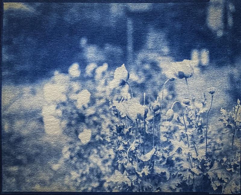 blossoms, cluster, floral forms, Burton Street Community Peace Gardens, West Asheville, NC, Graflex Crown Graphic, Schneider Symmar f-5.6, 150mm, Arista.Edu 400, HC-110 developer. Image shot- 5.8.20  printed- 3.14.21