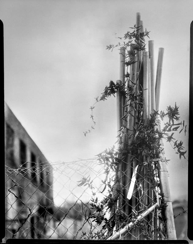 end of fence, vines, abandoned mill, Riverside Drive, Asheville, NC,  Folmer Graflex Corp. R.B. Series B, Kodak Anastigmat f-4.5, Adox CHS 100 II, Ilfosol 3 developer, 3.16.21