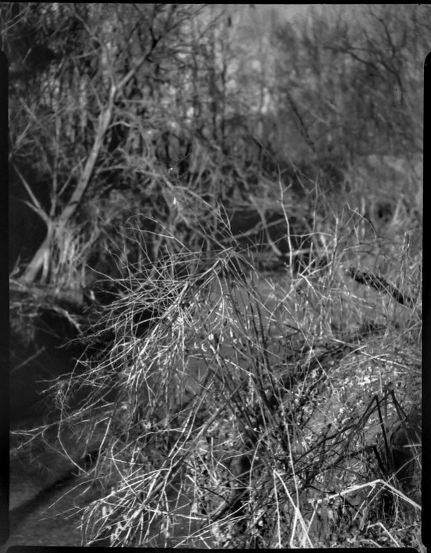 small stream, knarly vegetation, abandoned land below Sam's Club, late light, Asheville, NC, Folmer Graflex Corp. R.B. Series B, Kodak Anastigmat f-4.5, Adox CHS 100 II, Ilfosol 3 developer, 3.21.21