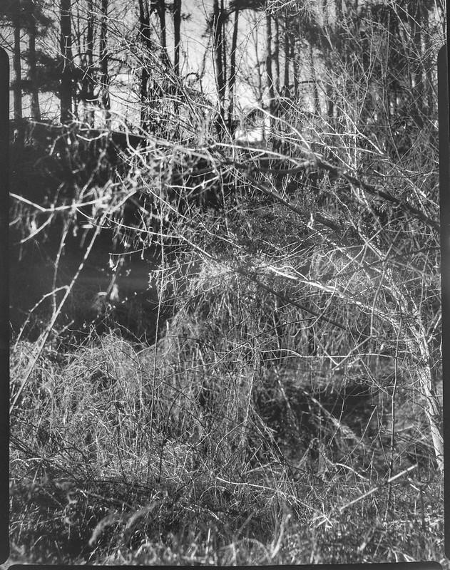 through tangled branches, rhythmic tree sequence, late light, West Asheville, NC,Folmer Graflex Corp. R.B. Series B, Kodak Anastigmat f-4.5, Adox CHS 100 II, Ilfosol 3 developer, 3.21.21