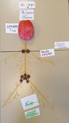 Système Nerveux Central (Cerveau et Moelle épinière) et Système Nerveux Périphérique (Nerfs) avec des spaghettis, dans les temps périscolaires avec les Savanturiers et la Mairie de Paris.