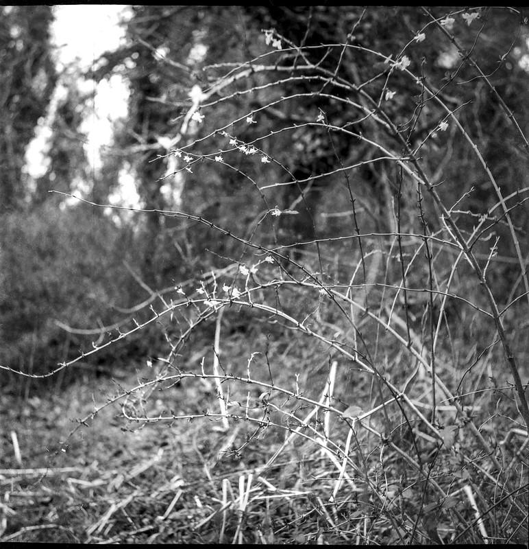 curvilinear branches, tiny blossoms, Hominy Creeek River Park, Asheville, NC, Yashica D, Fomapan 200, Ilford Ilfosol 3 developer, 3.22.21