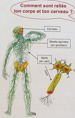 Nerf - illustration NeuroSpin Mon Incroyable Cerveau