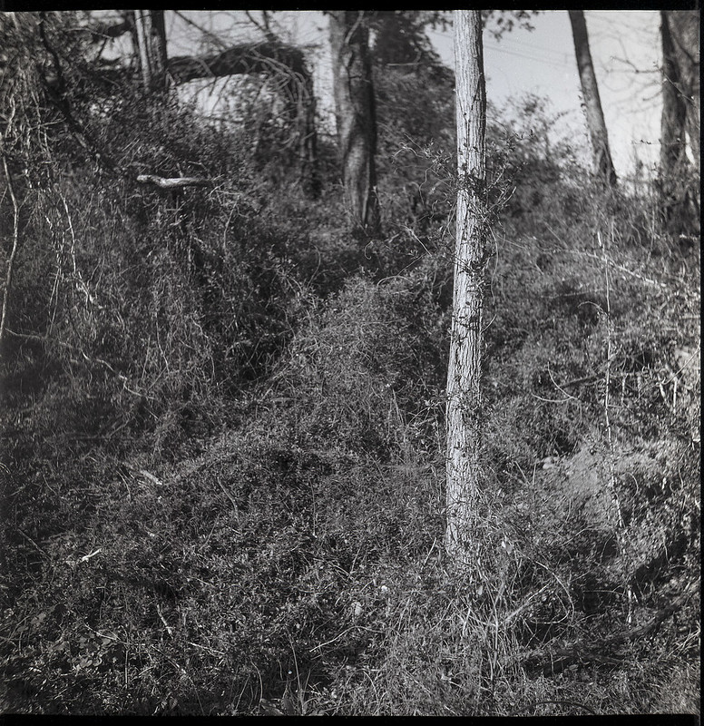 rhythmic movement, tree trunks, overgrown foilage, Hominy Creek River Park, Asheville, NC, Yashica D, Fomapan 200, Ilford Ilfosol 3 developer, 3.22.21