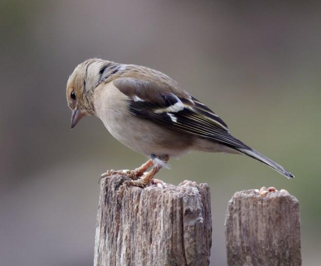 Apr 2021 Female chaffinch
