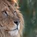 African Lion - Pakawi Park - Belgium