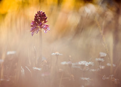 Orchidée Neotinea tridentata