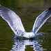 At The Moment Of Impact, A Landing Herring Gull Hits The Water With Wings Out