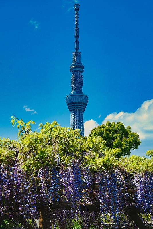 Kameido Tenjin Shrine Wisteria 2021-24