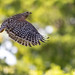 Red-shouldered Hawk | Buteo lineatus | 2021 - 3