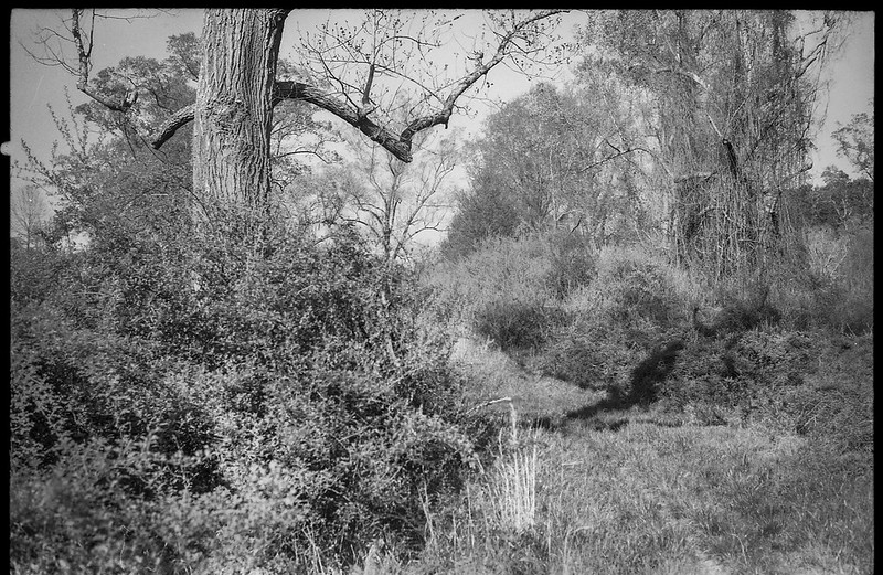 anthropomorphic tree form, cast shadow, early spring landscape, Biltmore Estate, Asheville, NC, Konica Autoreflex T, Hexanon 57mm 1.4, Foma 200, Ilfosol 3 developer, 4.17.21