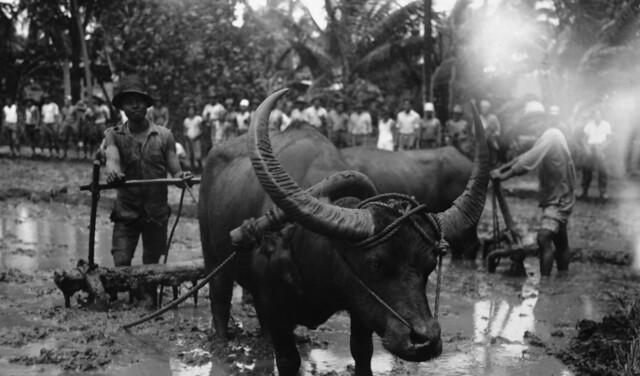 Karabao, Workers and Rice Paddy, 1935