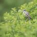 Sperbergrasmücke - Barred Warbler