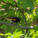American Redstart Chowing Down