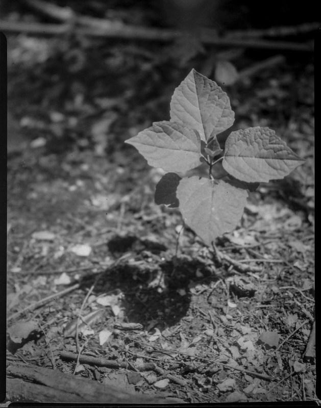 four leaves, cast shadow, yard, Asheville, NC, Folmer Graflex R.B. Series B, Kodak Anastigmat f-4.5, Adox CHS 100 II, Ilfosol 3 developer, 5.7.21
