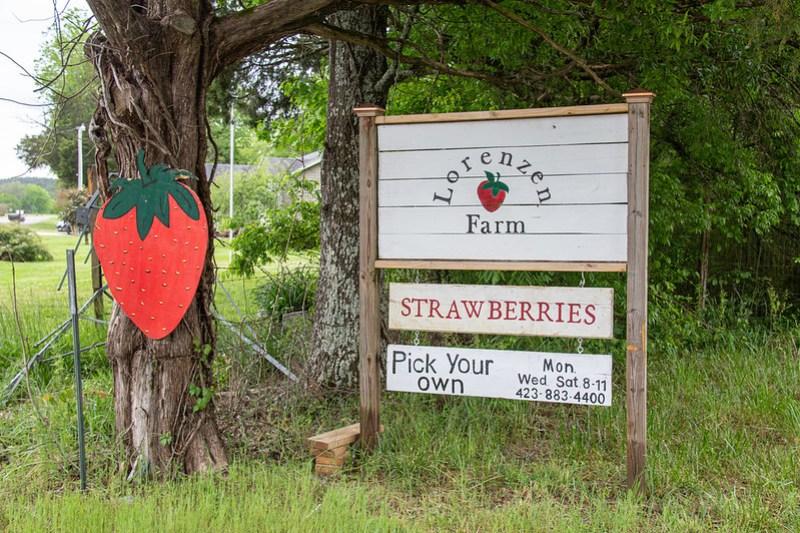 Strawberry Picking15