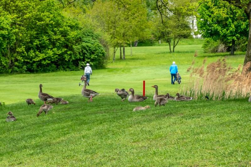 Golfer und das Federvieh