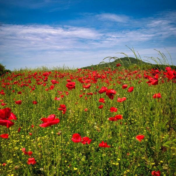 Plentiful poppies II