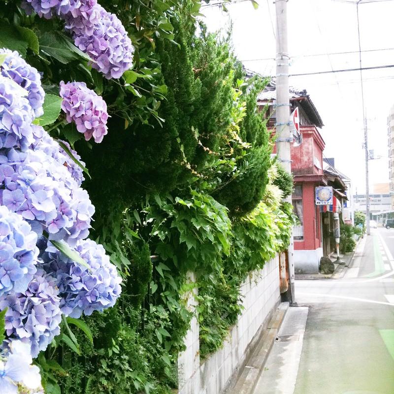 紫陽花と理髪店