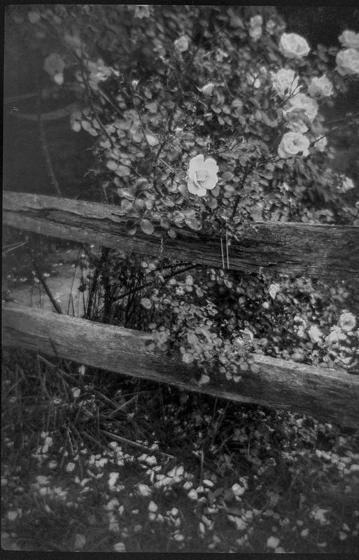 roses and split rail fence redux, Blue Ridge Avenue, Asheville, NC, Bencini 24S, Fomapan 200, Ilford Ilfosol 3 developer, 6.12.21