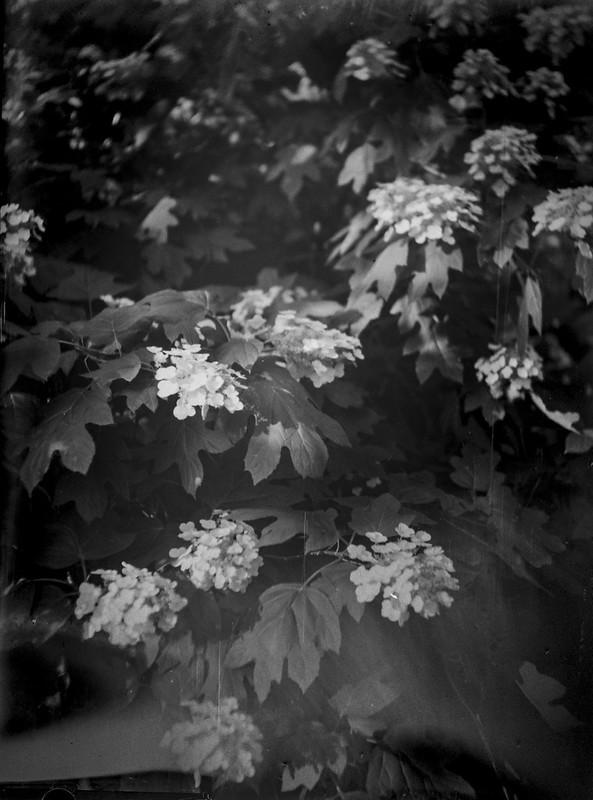 inside an oakleaf hydrangea, blossoms, leaves, yard, Asheville, NC, Fotokor 1, VOOMP Anastigmat Ortagoz 135mm f-4.5, 9x12, Fomapan 100, Ilfosol 3 developer,6.16.21