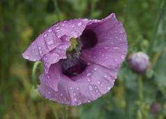 Purple poppy raindrops.