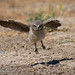 A Young Burrowing Owlet Takes Its One of Its First Flights