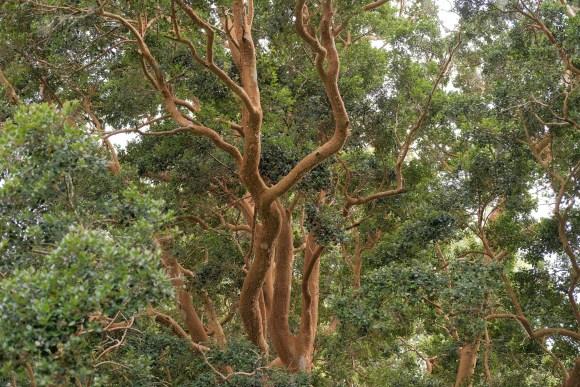 Cornish Eucalyptus tree