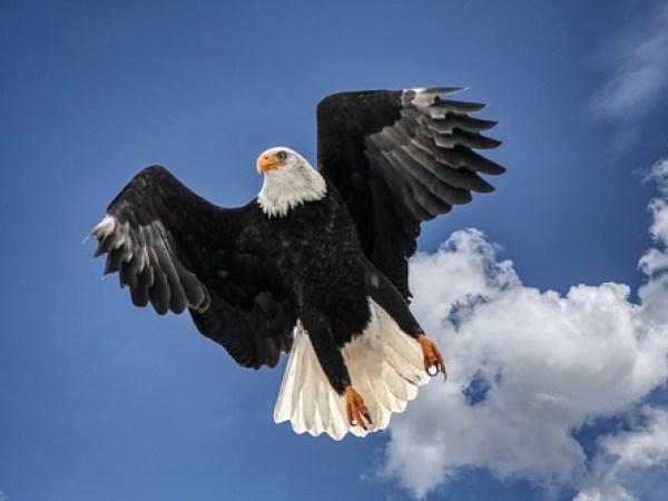 Bald Eagle ©