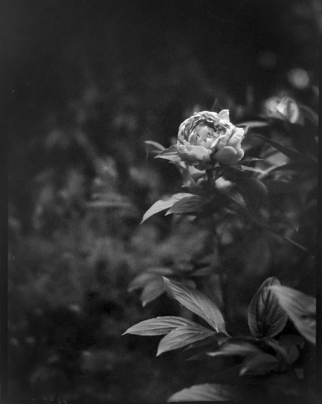 single peony, late season, yard, Asheville, NC,  Folmer Graflex R.B. Series B, 3.25 x 4.25 large format sheet film camera; Kodak Anastigmat f-4.5, Adox CHS 100, Ilfosol 3 developer, 6.6.21