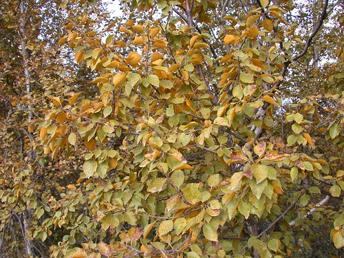 Birch rust MCU