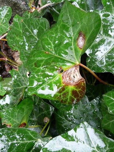 Ivy leaf blight